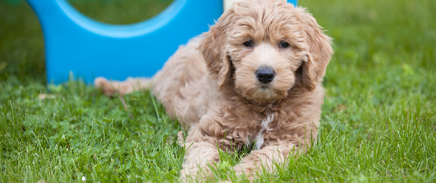 Rosewood Kennel | Breeder of Top Quality GoldenDoodle Puppies