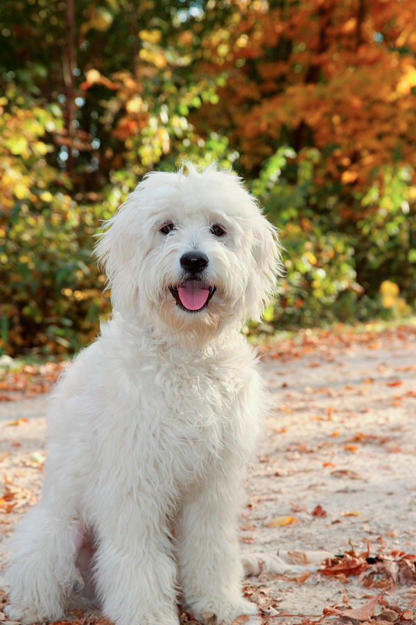 Rosewood Kennel Breeder Of Top Quality Goldendoodle Puppies